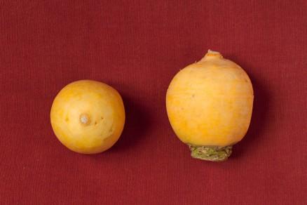 Fotografia di due rape gialle pomo d'oro