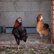 L'Araucana, la gallina dalle uova azzurre