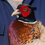Gastone, il fagiano innamorato delle galline