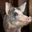 Foto di un maiale all'agriturismo Poggio Diavolino
