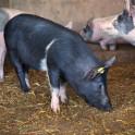 Foto di maiali in agriturismo a Suvereto