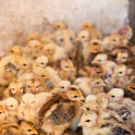 Foto di pulcini in agriturismo a Suvereto