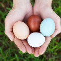 Foto di uova di Araucana e Marans