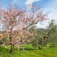 La tradizione antica di consociare mandorli e olivi