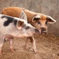 Macchietta e Pezzato, i nuovi porcellini di Poggio Diavolino