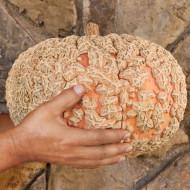 La nostra zucca nocciolina o zucca gallosa pubblicata su Vita in Campagna